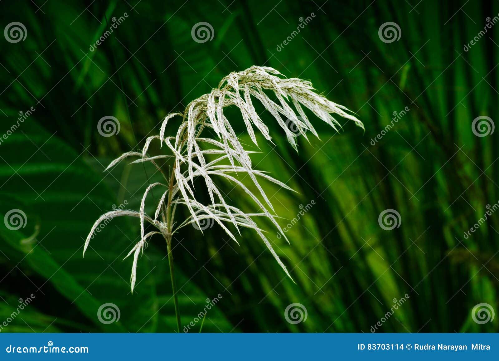 Kans Grass , Saccharum Spontaneum, Kolkata, West Bengal, India Stock Photo