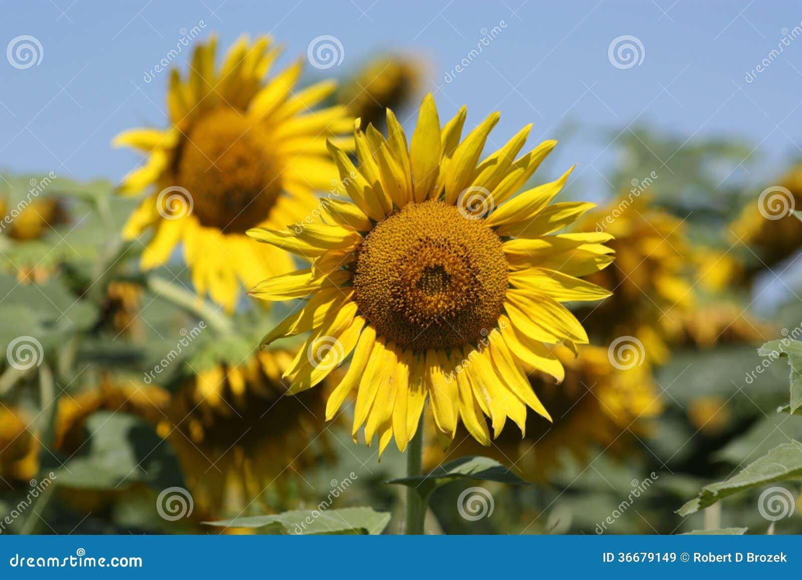 Kansas Country Sunflower closeup