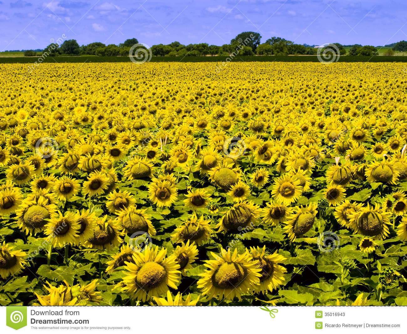 ... Dense Crop Of Bright Yellow Sunflowers Stock Photos - Image: 35016943