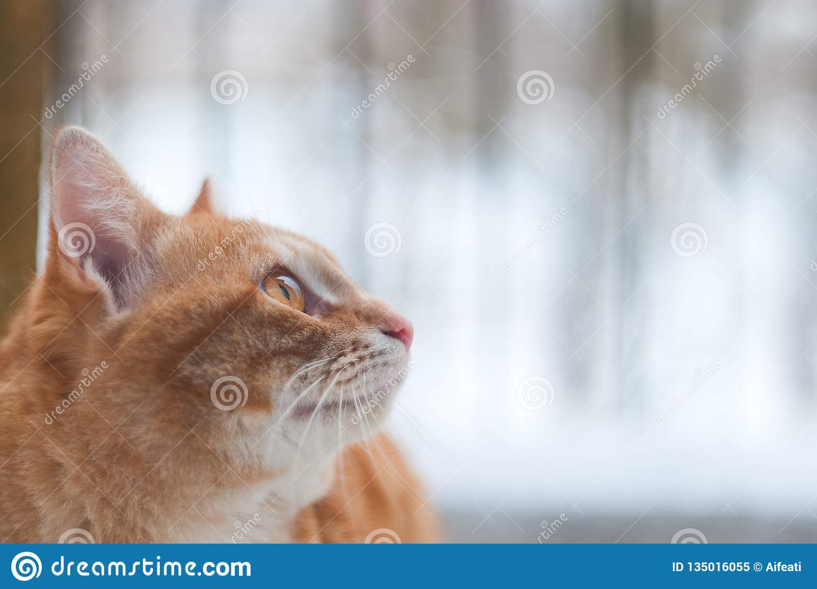 Kant van Ginger Cat Looking Something With Nature-Achtergrond Zijaanzicht van Ginger Cat Looking Forward