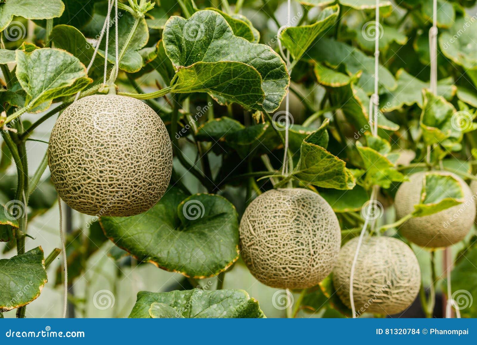 Kantalup Świeży melon na drzewie Selekcyjna ostrość