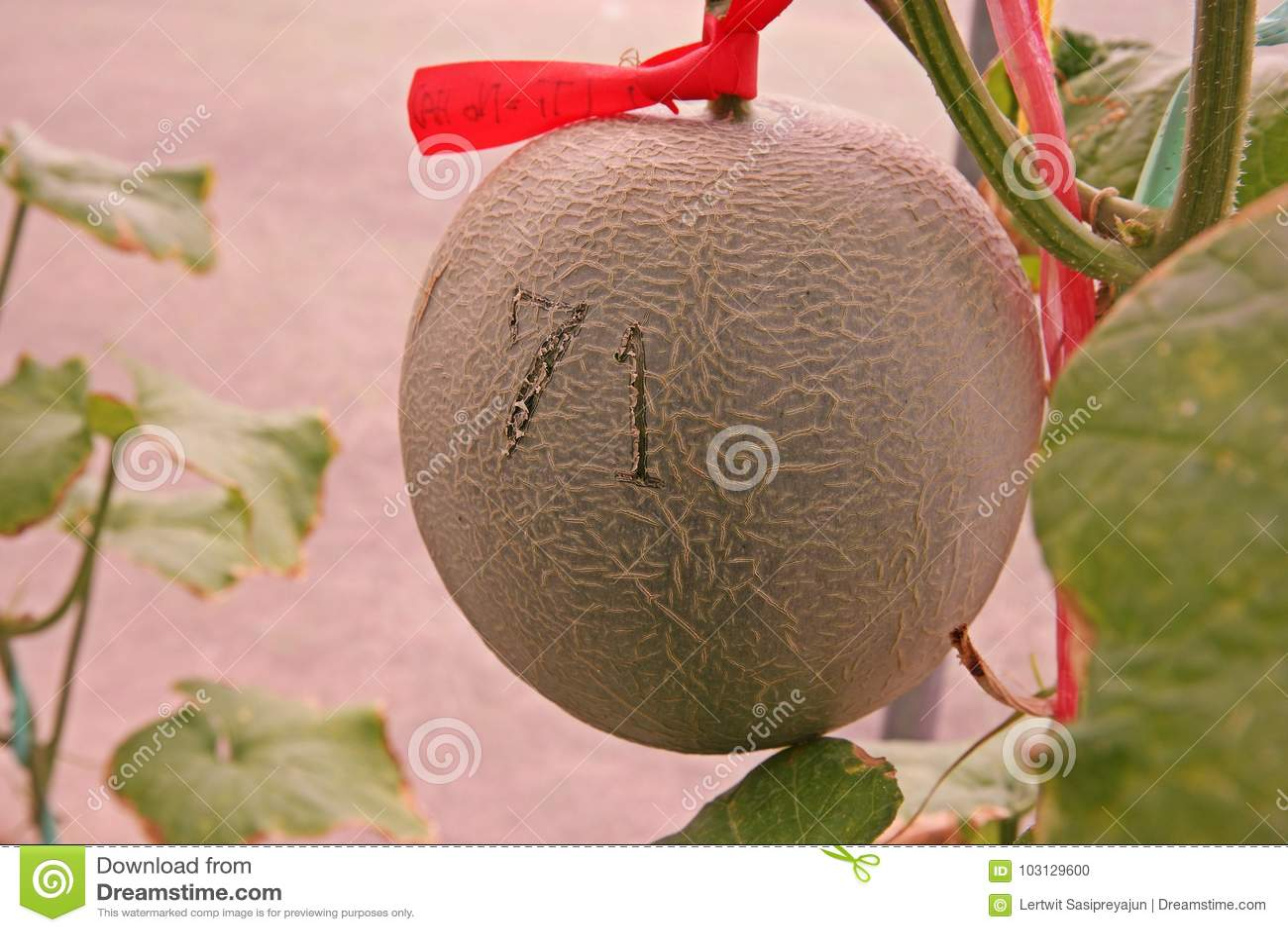 Kantalup lub muskmelon, owocowa Cucurbitaceae rodzina