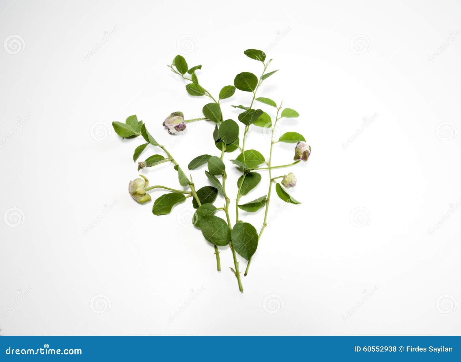 Kapar roślina