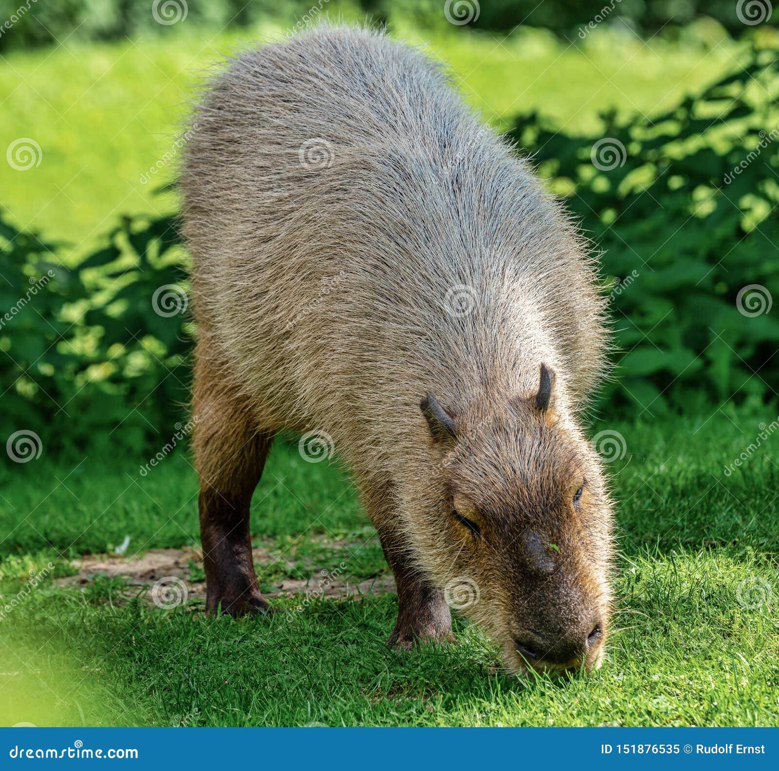 Kapibara, Hydrochoerus hydrochaeris pasa na świeżej zielonej trawie