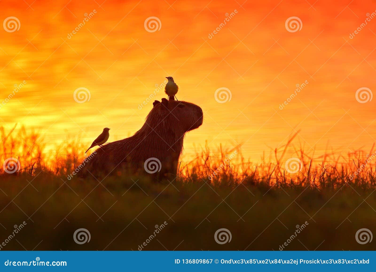 Kapibara w jeziornej wodzie z ptakiem Duża mysz dookoła świata, kapibara, Hydrochoerus hydrochaeris z wieczór światłem,