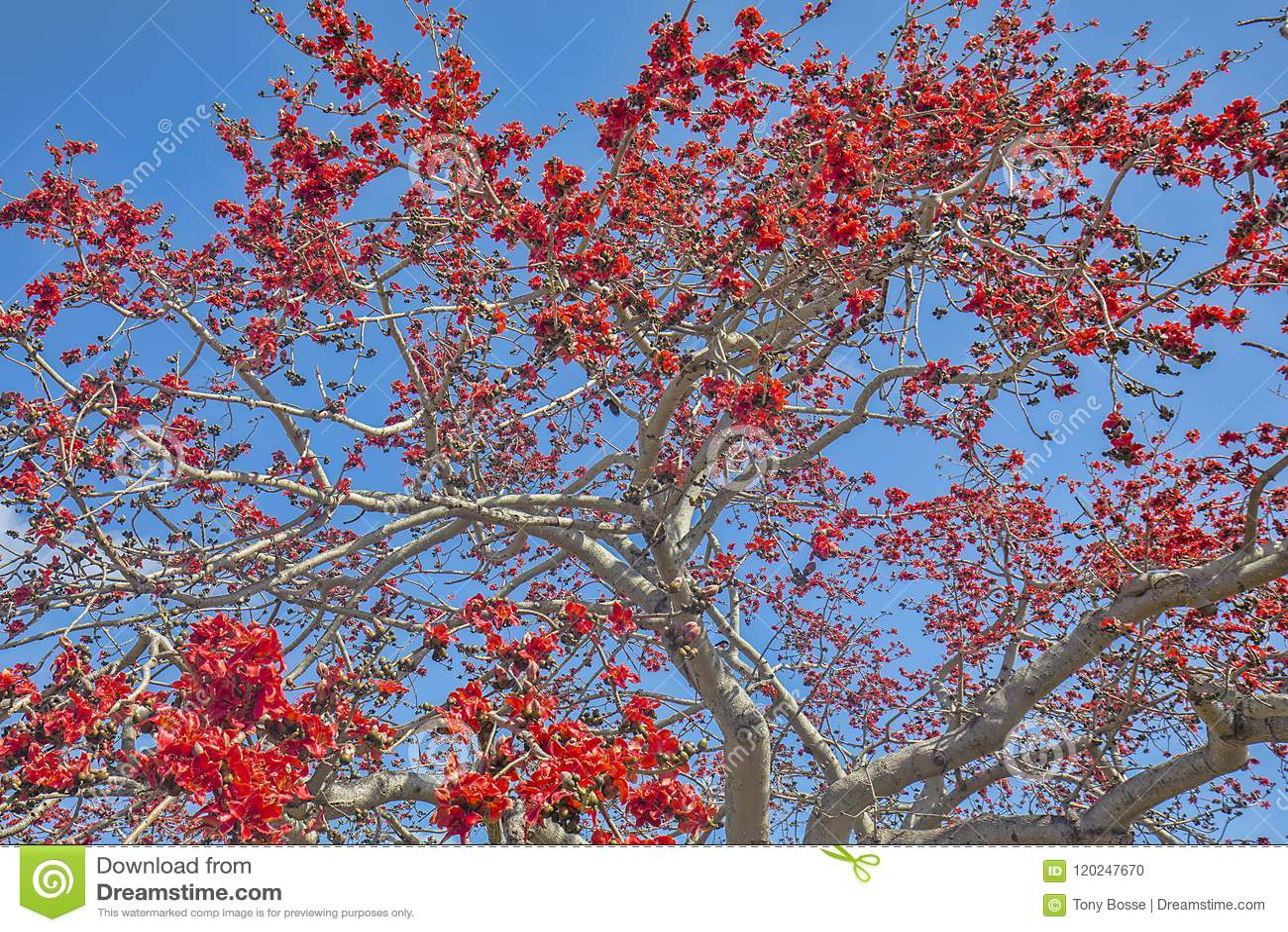 Kapok Tree In Full Bloom Background Stock Photo - Image of