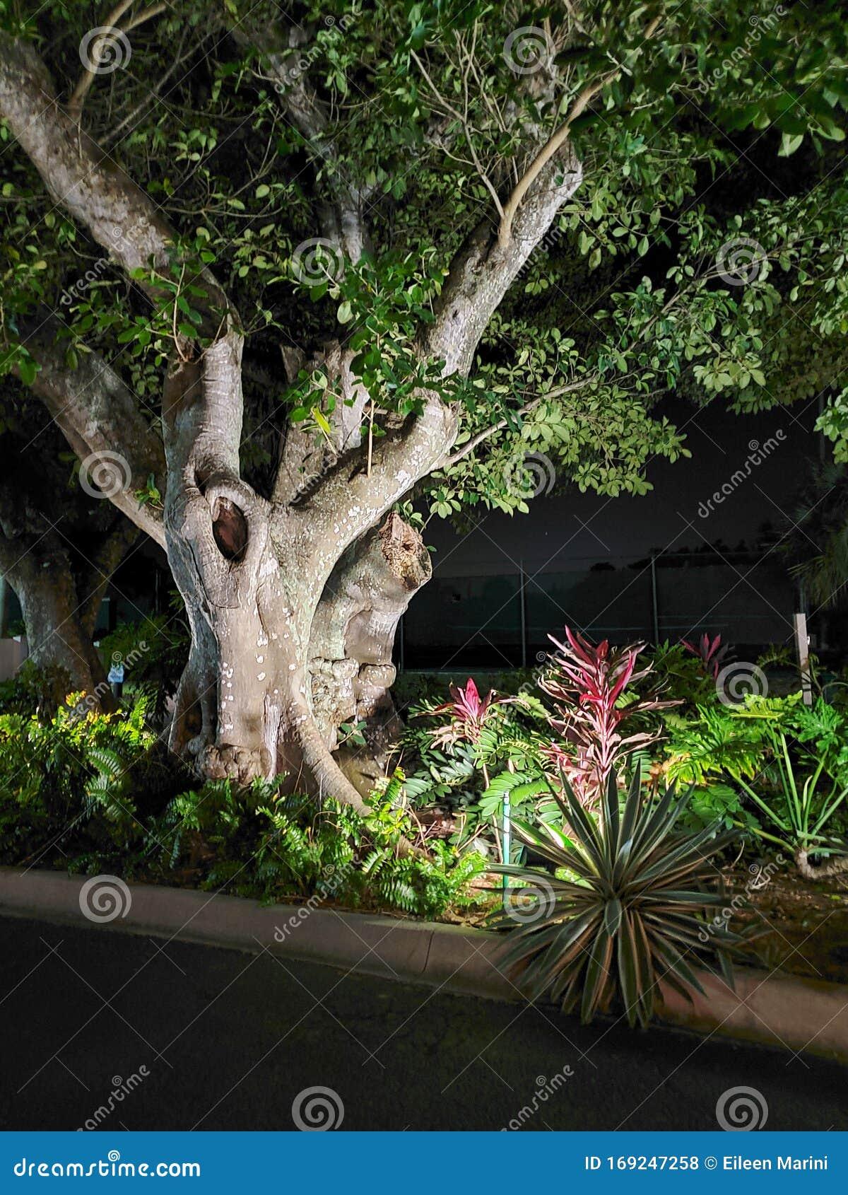 Kapok On Tree Royalty-Free Stock Image | CartoonDealer.com ...
