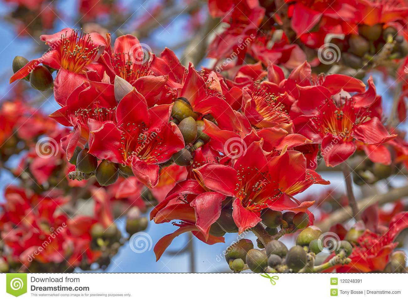 Kapok Tree Red Flower Cluster Stock Image - Image of floral