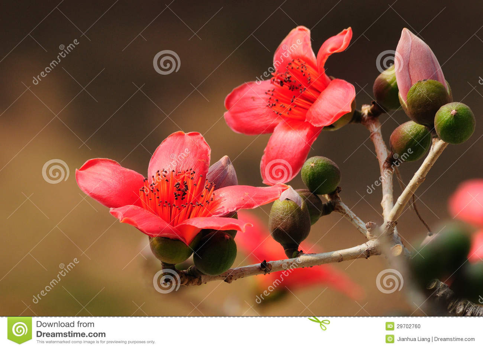 Den blomma Kapokblomman fjädrar in