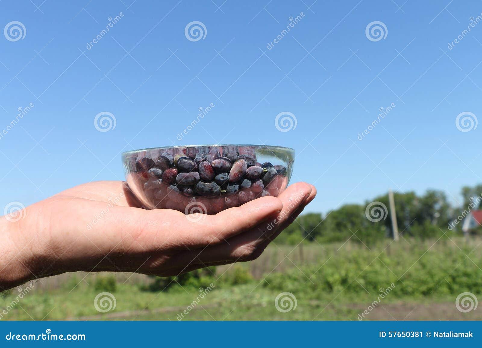 Kaprifolbär i en glass platta i man gömma i handflatan