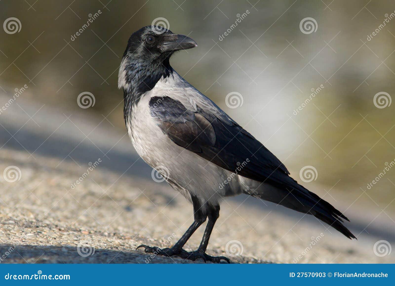 Kapturzasta wrona na ziemi/Corvus cornix