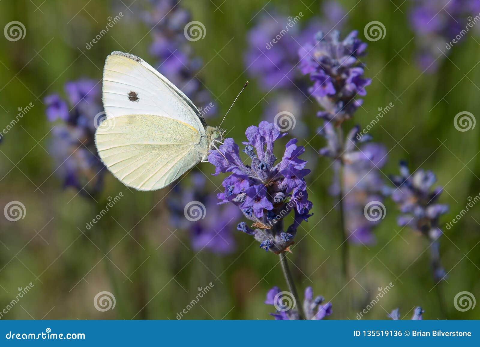 Kapuściany biel Odpoczywa na Purpurowym kwiacie