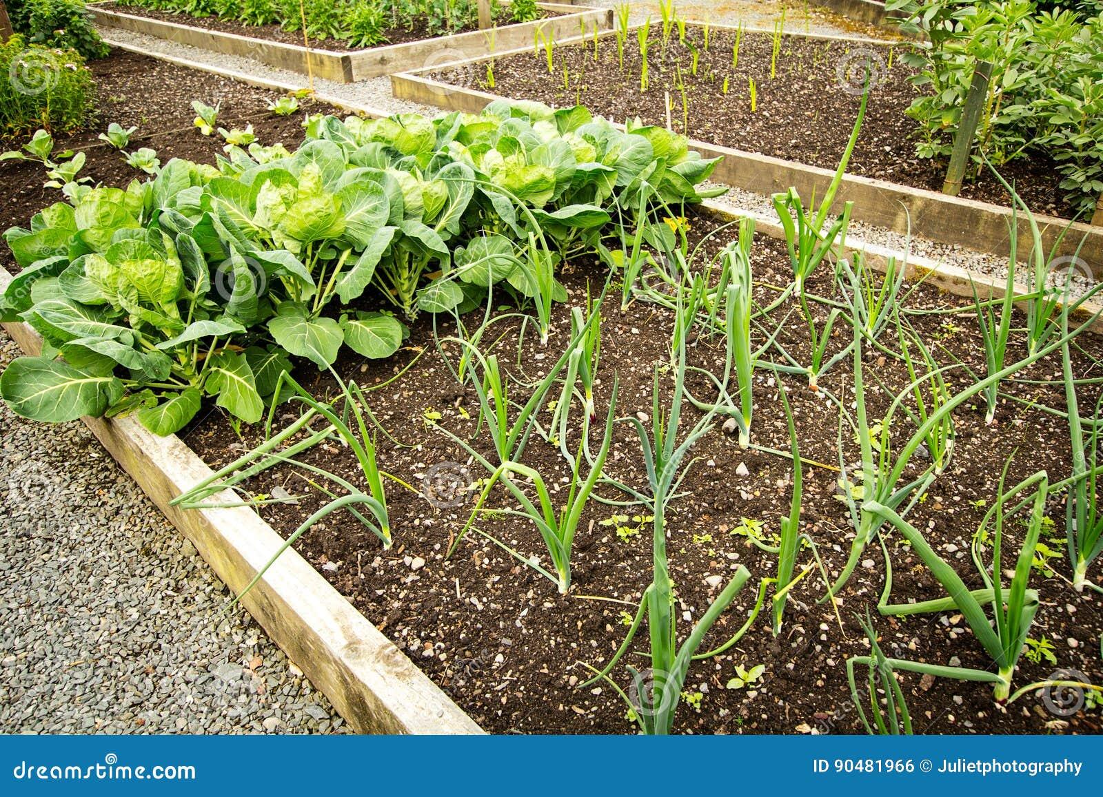 Kapusta i inny warzywa dorośnięcie w ogródzie