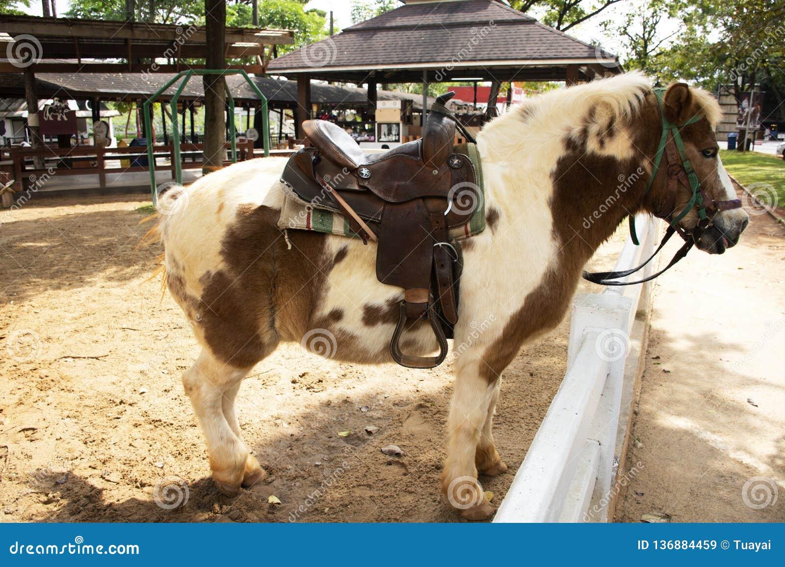Karłowata końska pozycja relaksuje w stajence przy zwierzęcym gospodarstwem rolnym w Saraburi, Tajlandia