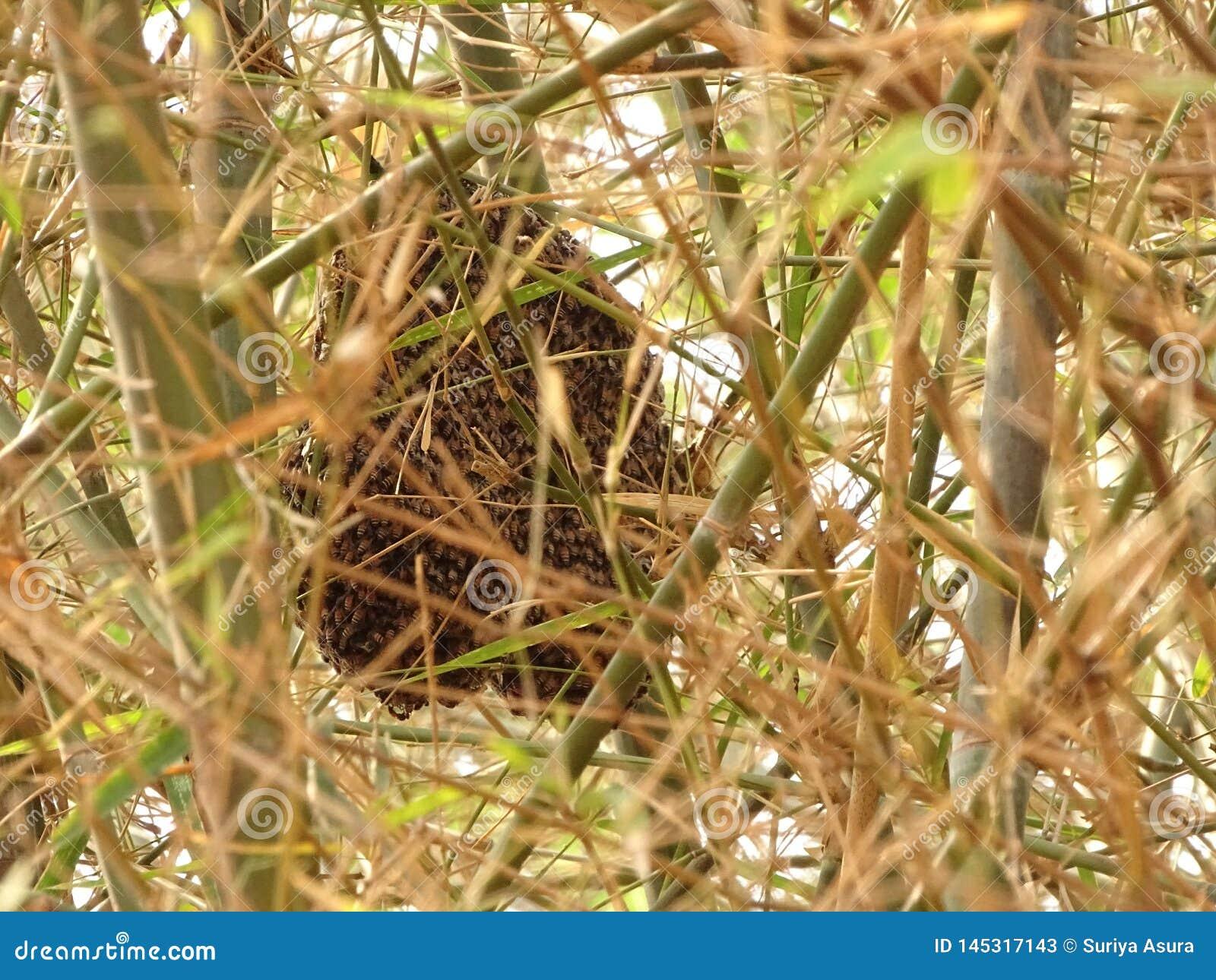 Karłowata miodowa pszczoła robi małym gręplom w gałąź bambusowi drzewa