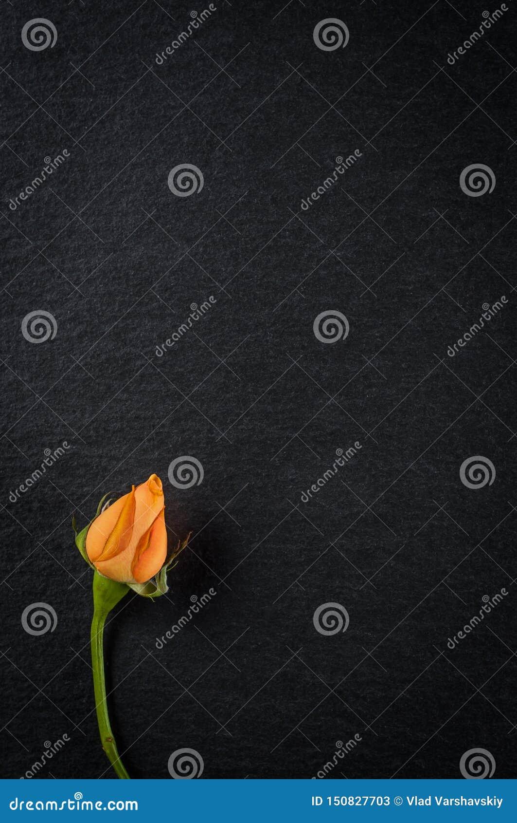 Karłowaty chińczyk róży kwiat z pomarańczowymi płatkami w górę zmroku kamienia tła, na