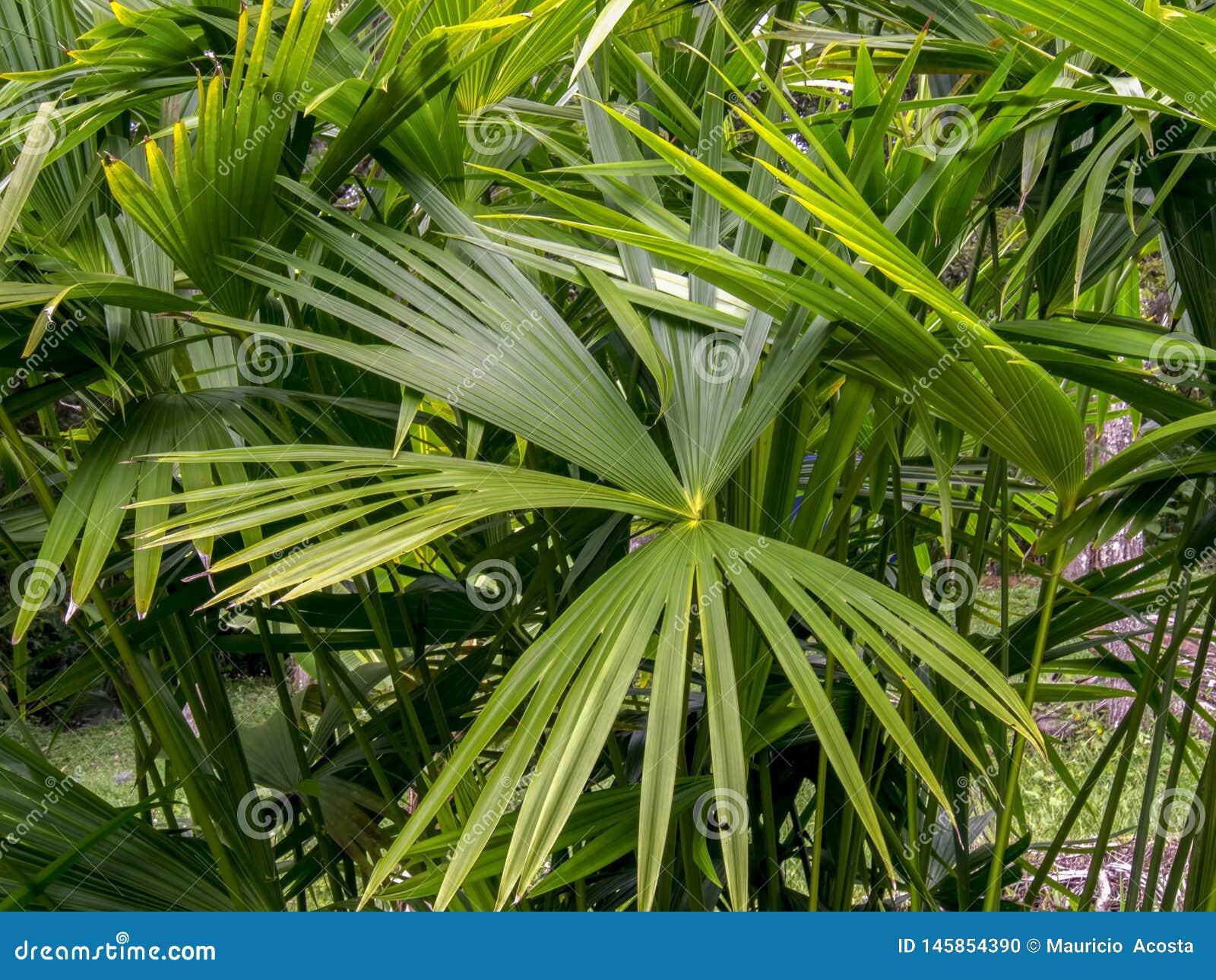 Karłowaty fan palmy liści szczegół