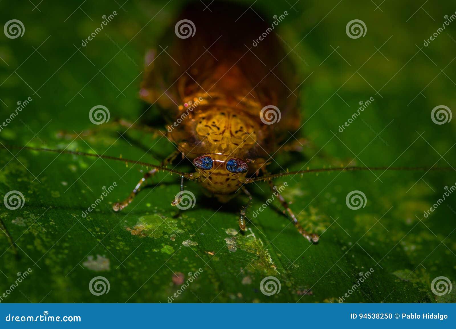 Karakany od podrównikowego wilgotnego podrównikowego lasu tropikalnego Ameryka Południowa Dictyoptera, Blattoptera, Blattodea od