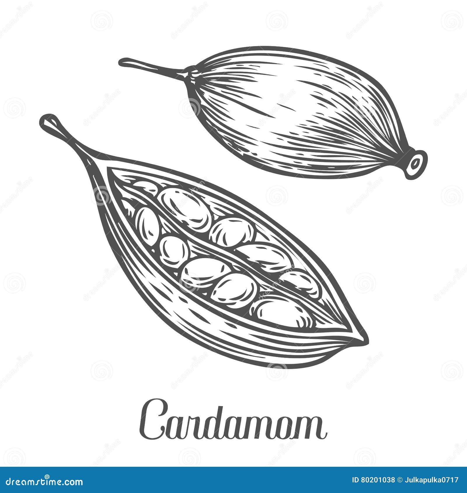 Kardamon nasieniodajna roślina Ręka rysująca nakreślenie wektorowa ilustracja odizolowywająca na bielu