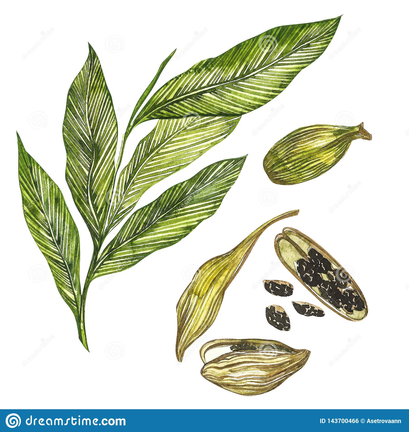Kardamon rośliny akwareli ręka rysująca ilustracja pikantność Realistyczna botaniczna ilustracja