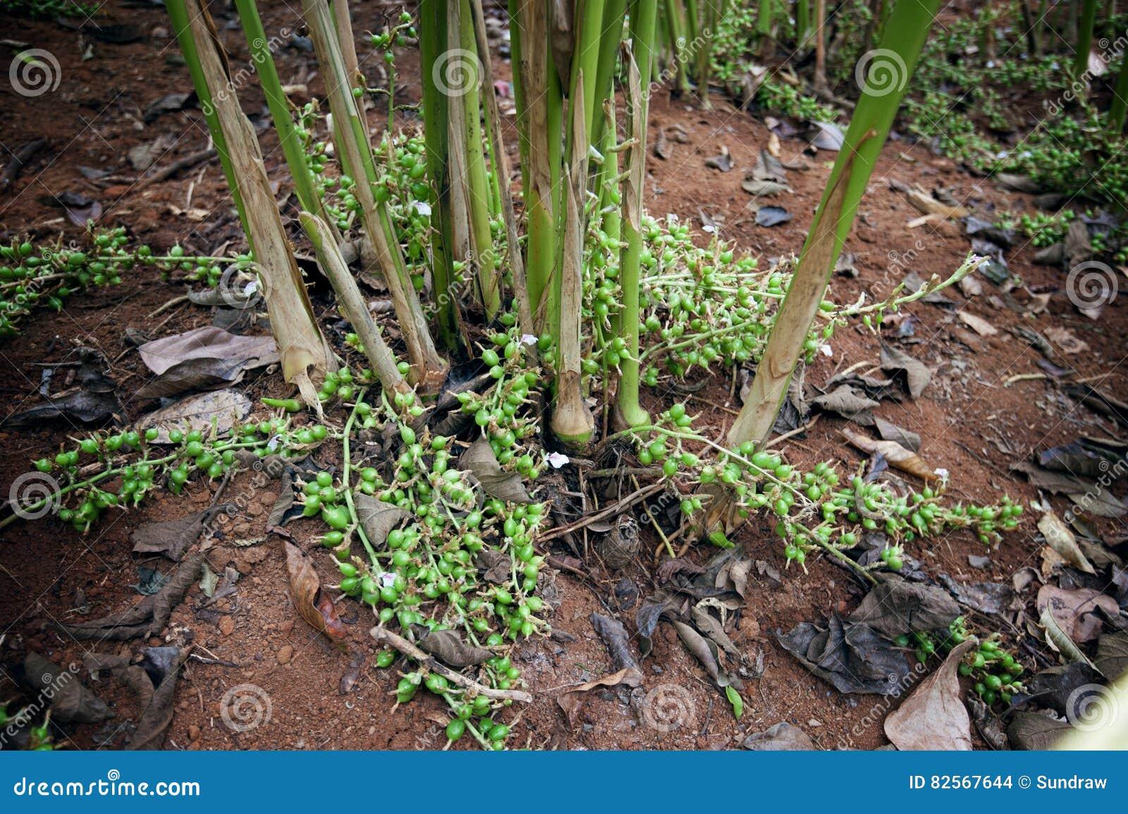 Kardemummaväxter som växer på kardemummakullar