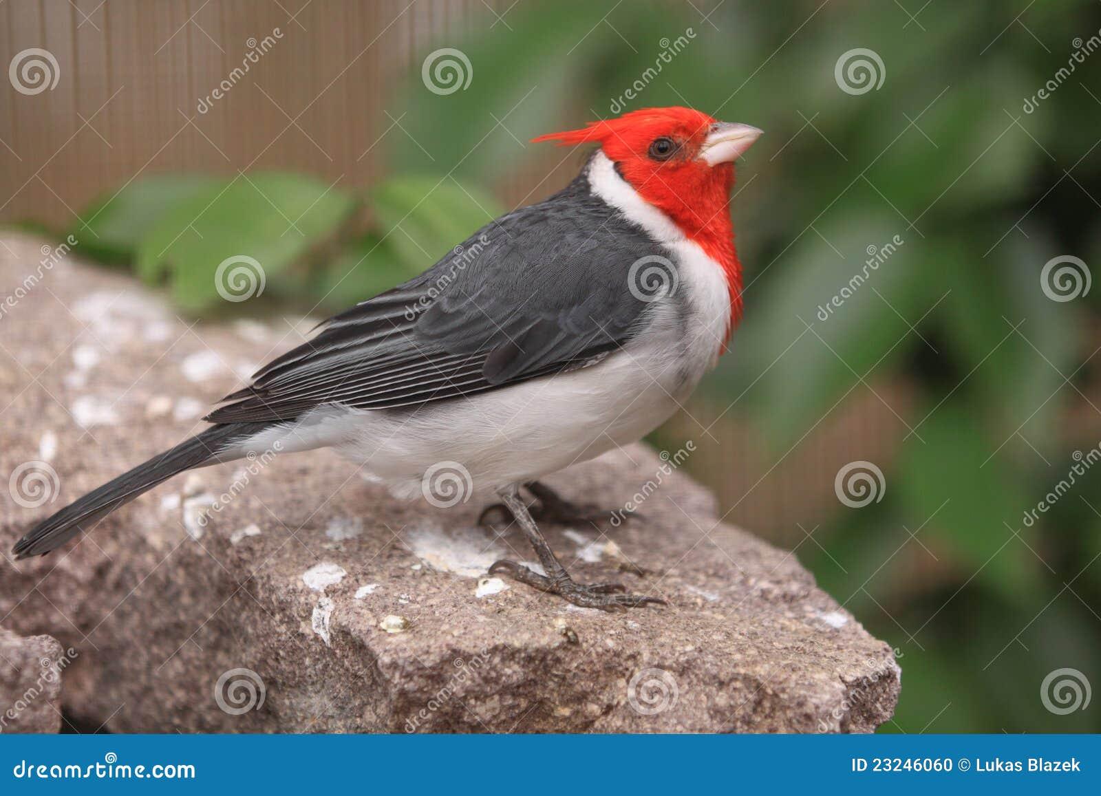 rode vogel met kuif
