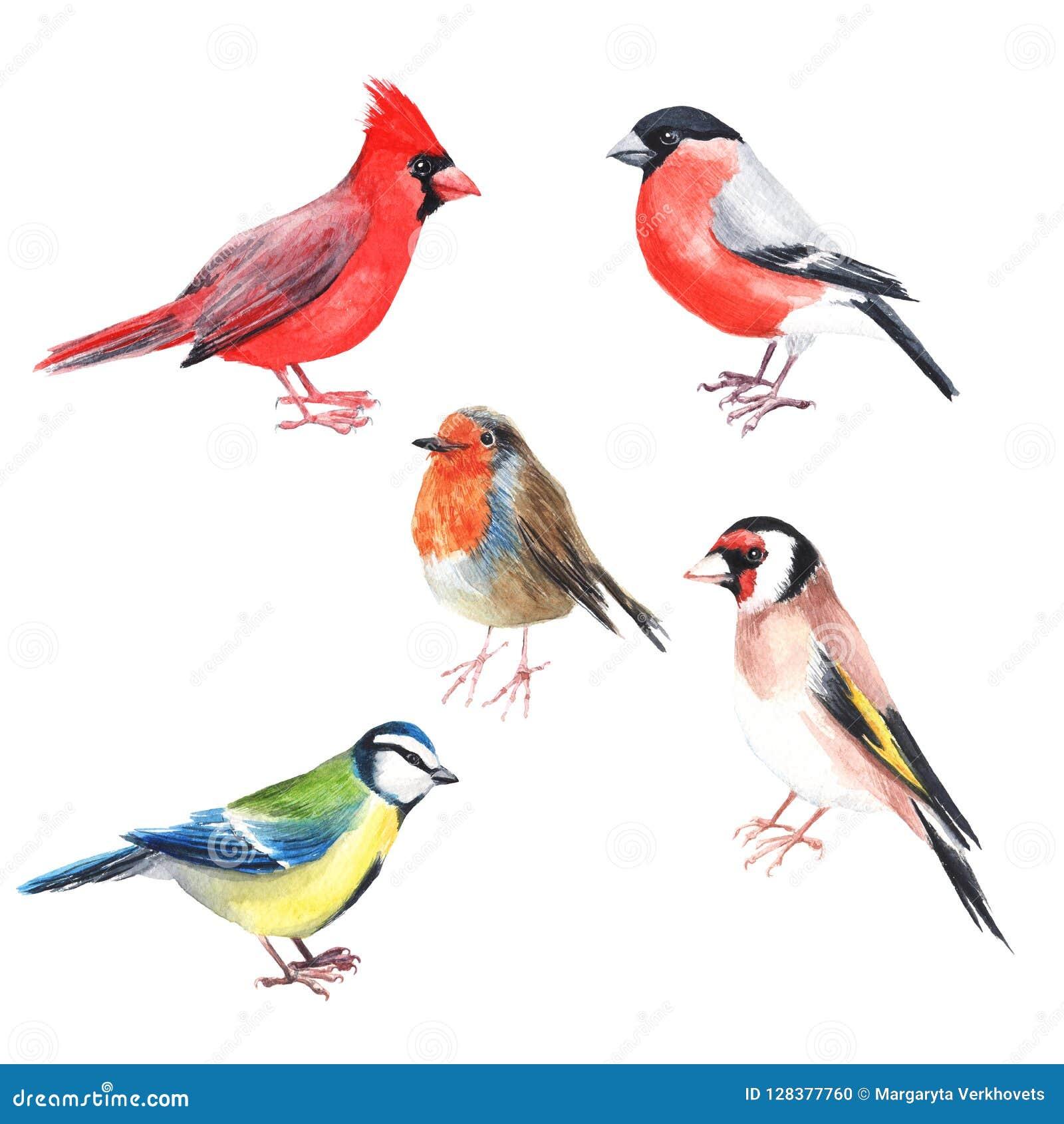 Kardinaal van de Watercolour de hand geschilderde vogel Helder illustratie geïsoleerd element op witte achtergrond Zwarte rode gr