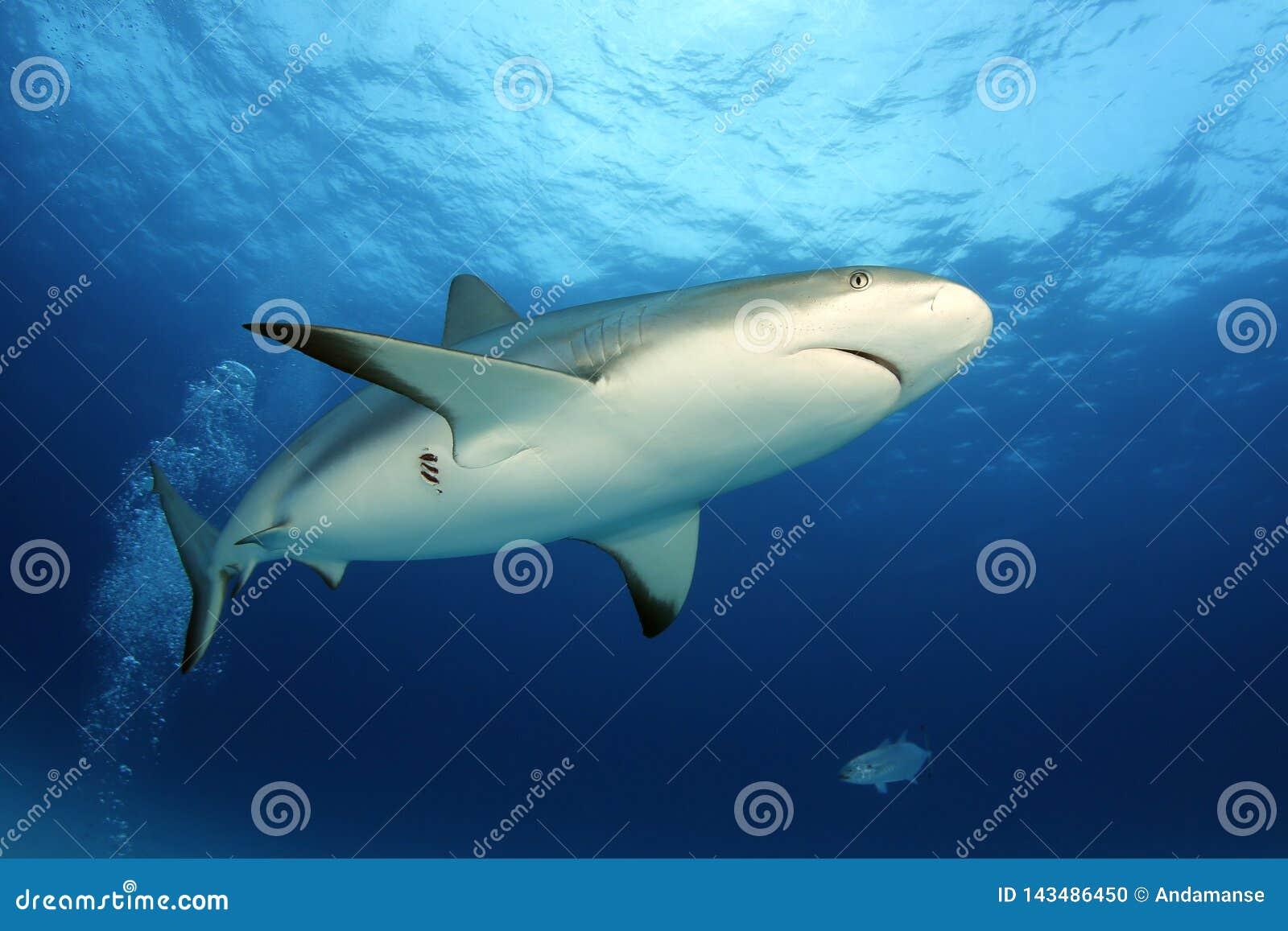 Karibischer Riff-Haifisch