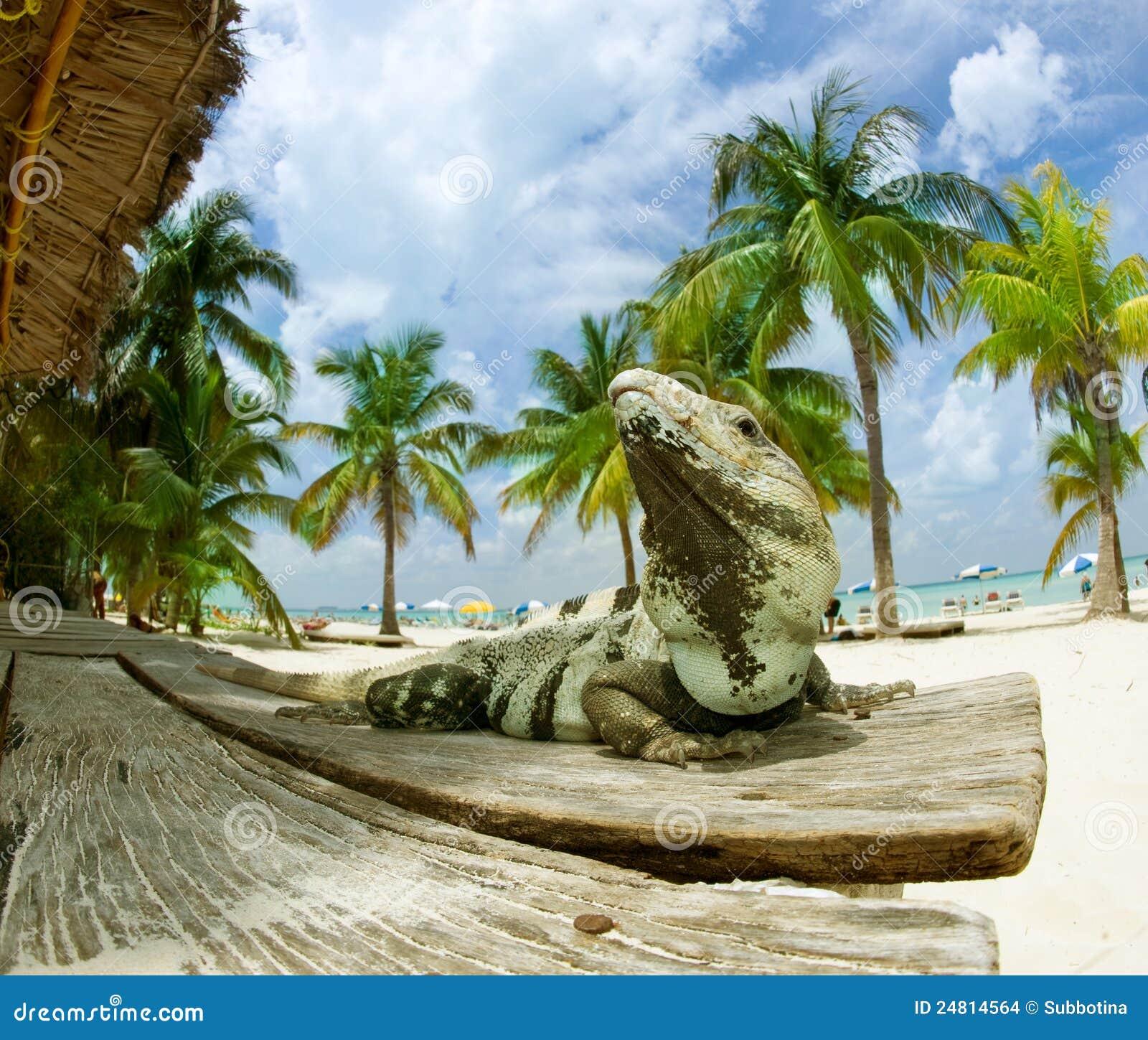 Karibisk leguan för strand