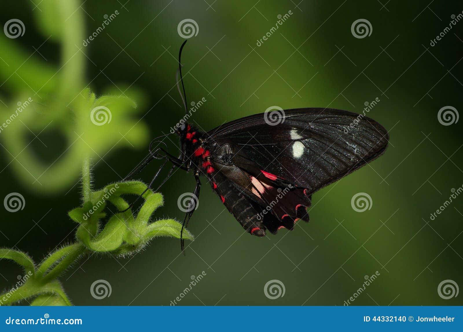 Karmazyn róży motyl