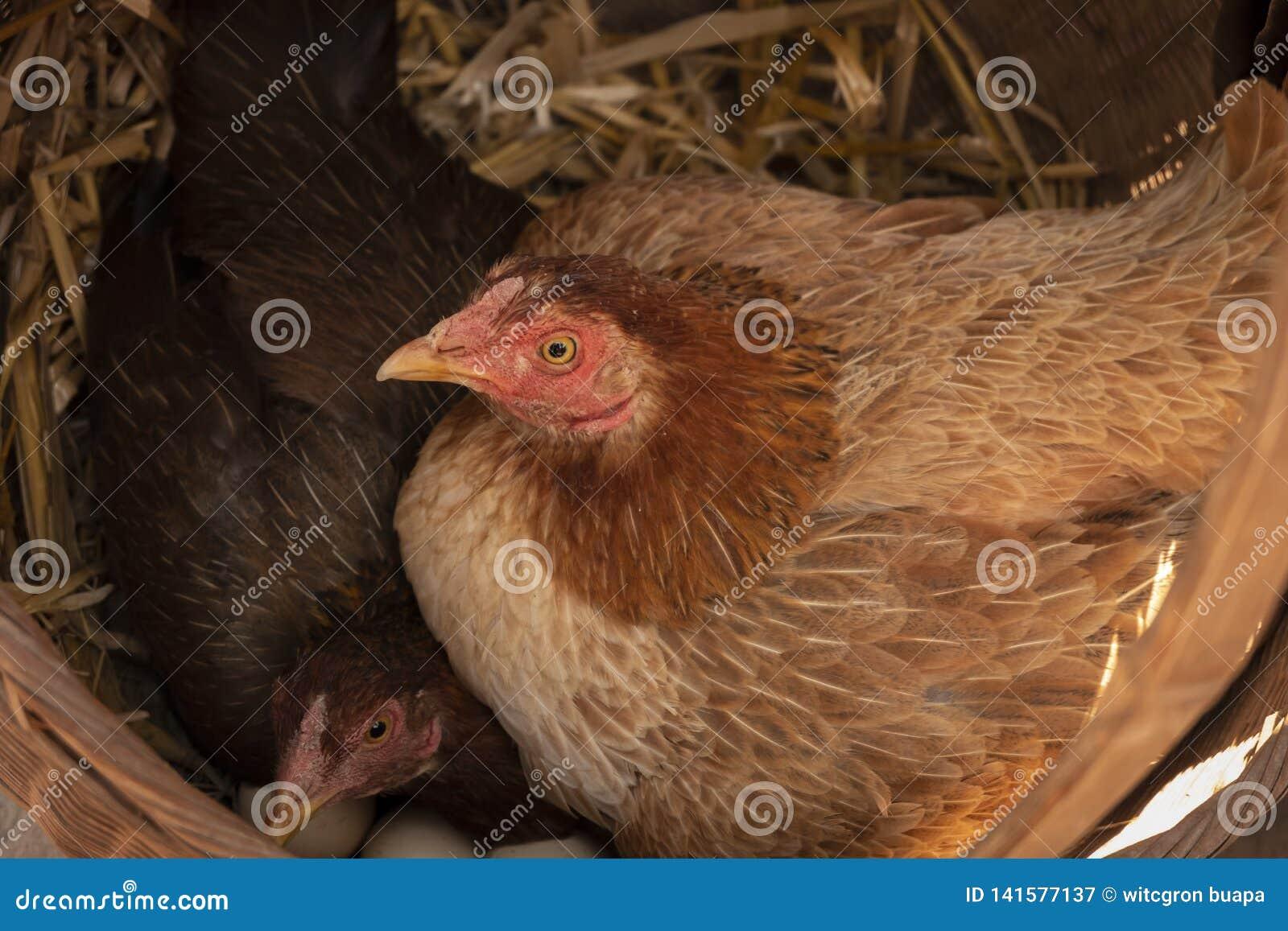 Karmazynka w gniazdeczku z jajkami