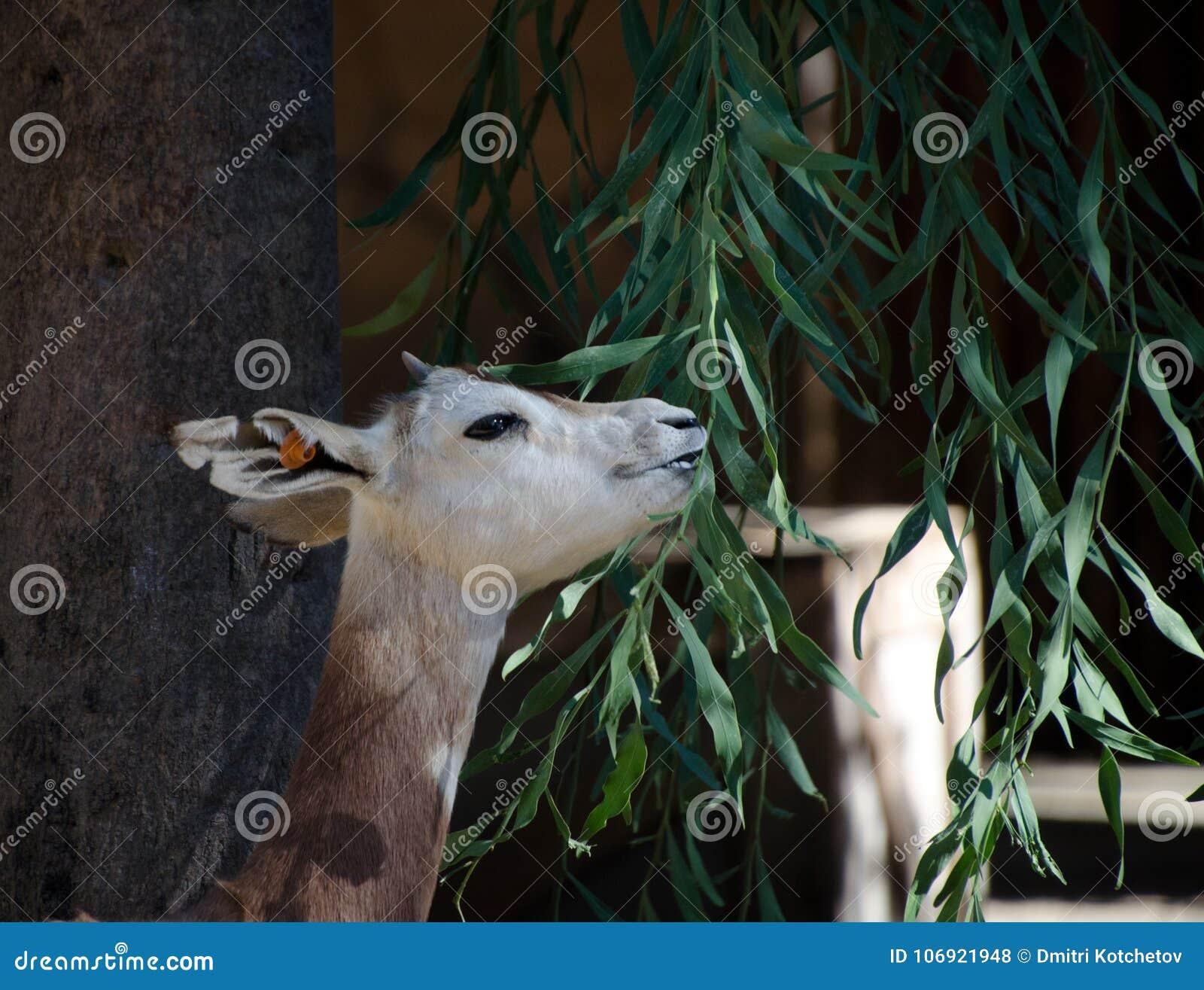 Karmić Muntjac w safari parku