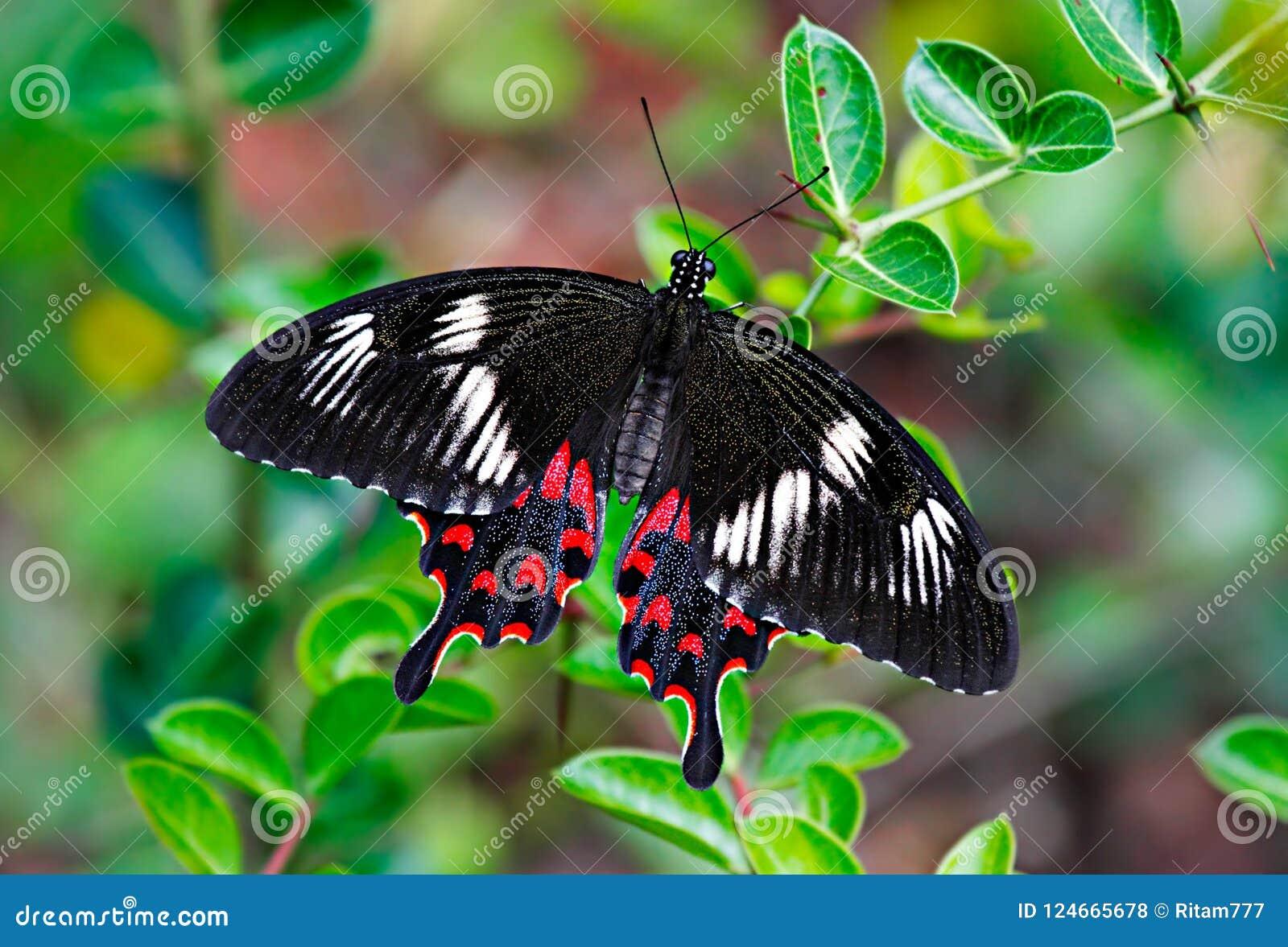 Karmozijnrode de vlinder nam of Pachliopta Hector op groene bladeren toe