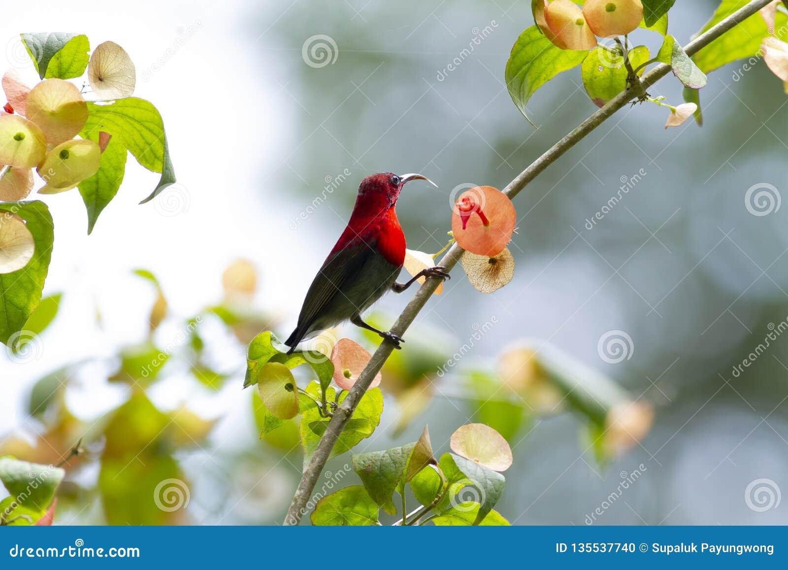 Karmozijnrode sunbird op Chinees-hut