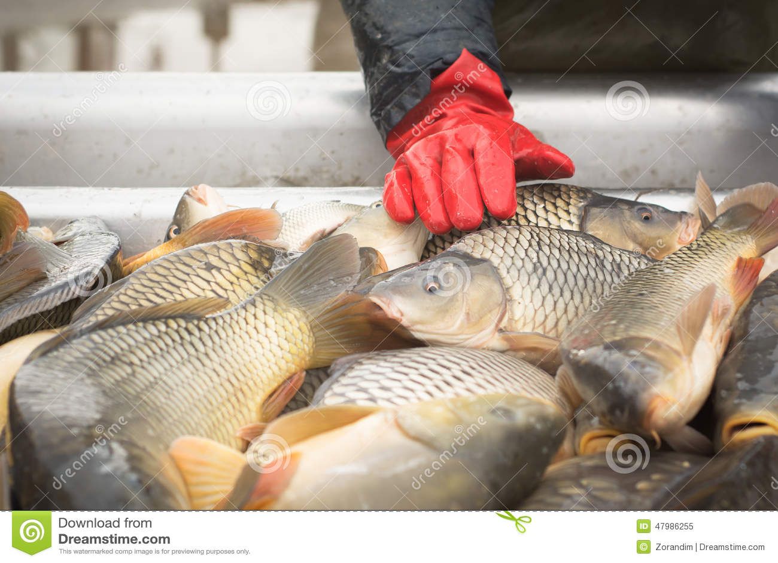 Karper visserij