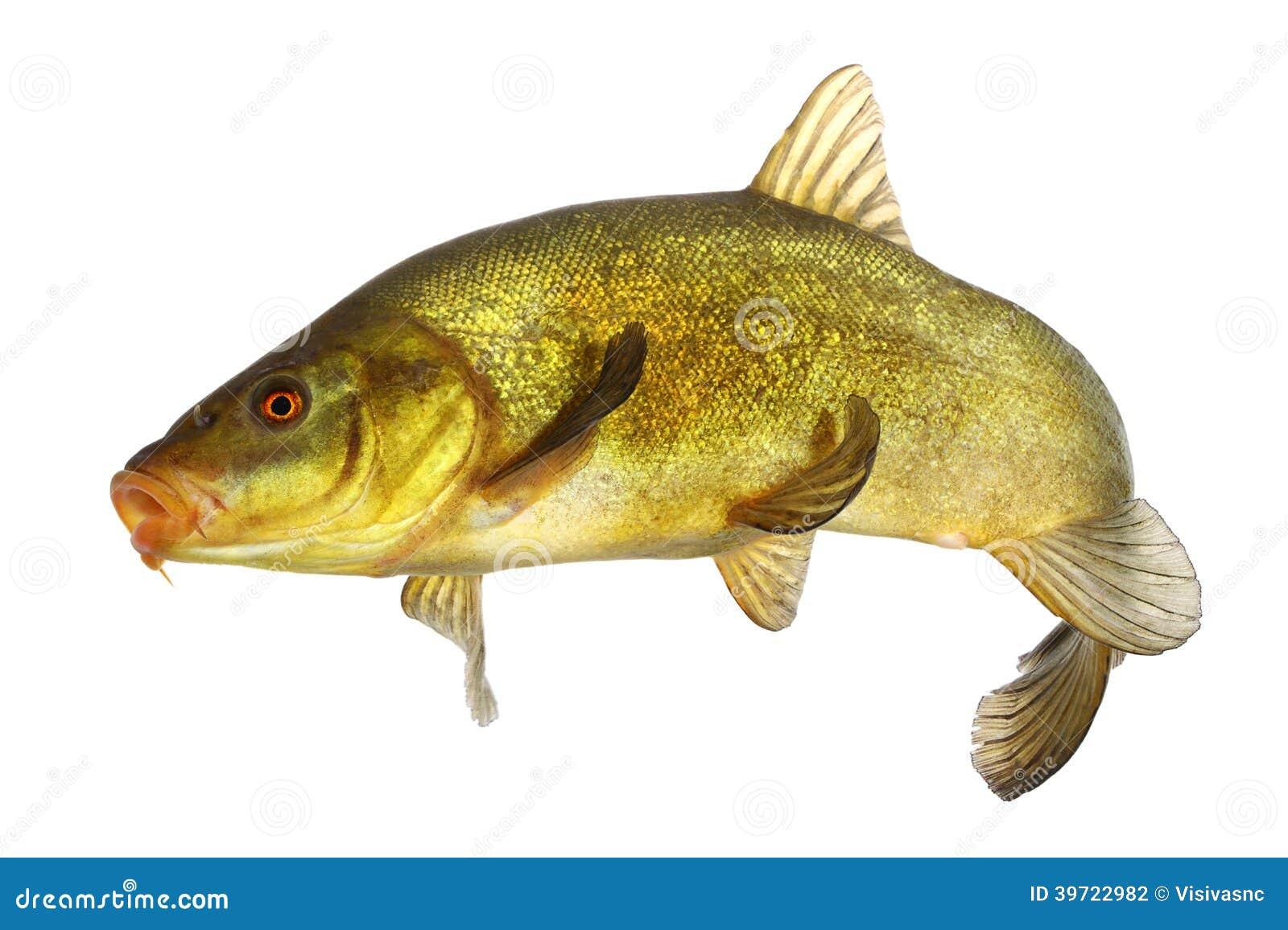 karpfen schleie f rbte die fische die frei schwimmen stockfoto bild 39722982. Black Bedroom Furniture Sets. Home Design Ideas