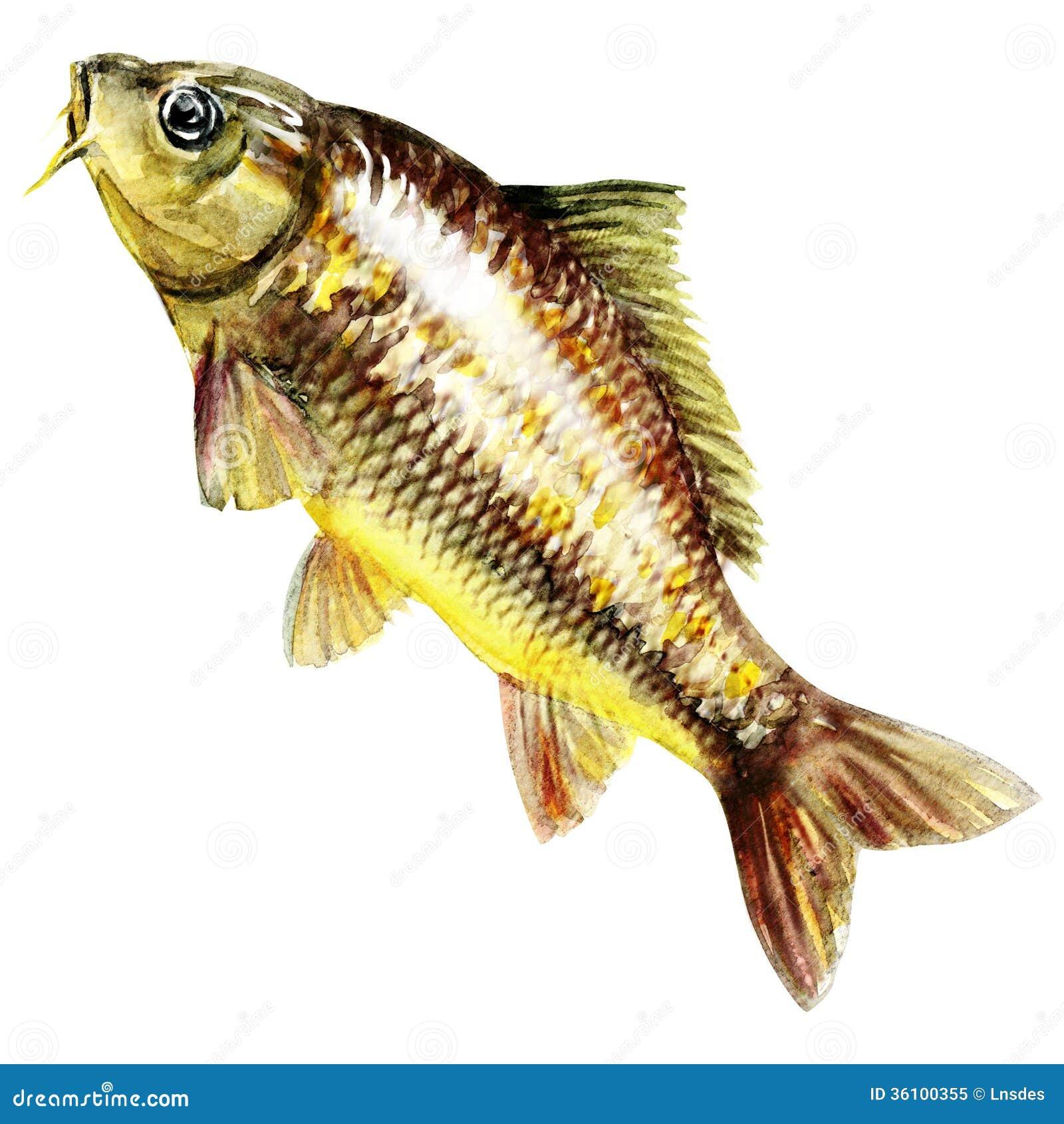 Karpfenfische. Aquarellmalerei
