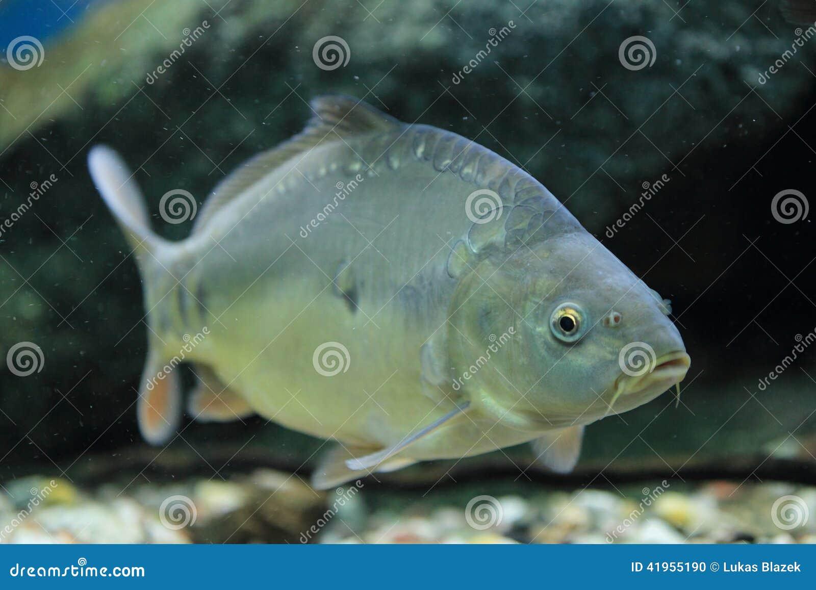 Karpiowego Carpio pospolitego cyprinus odosobniony biel