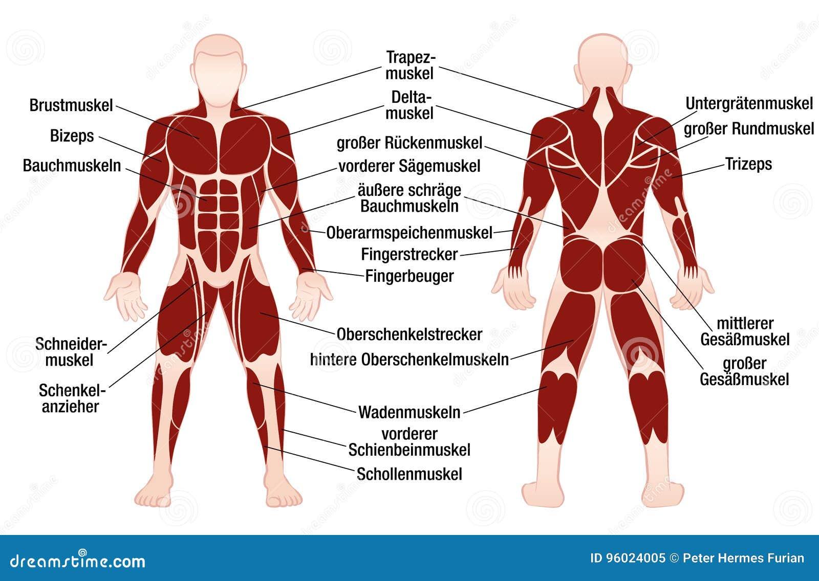 muskler i kroppen antal
