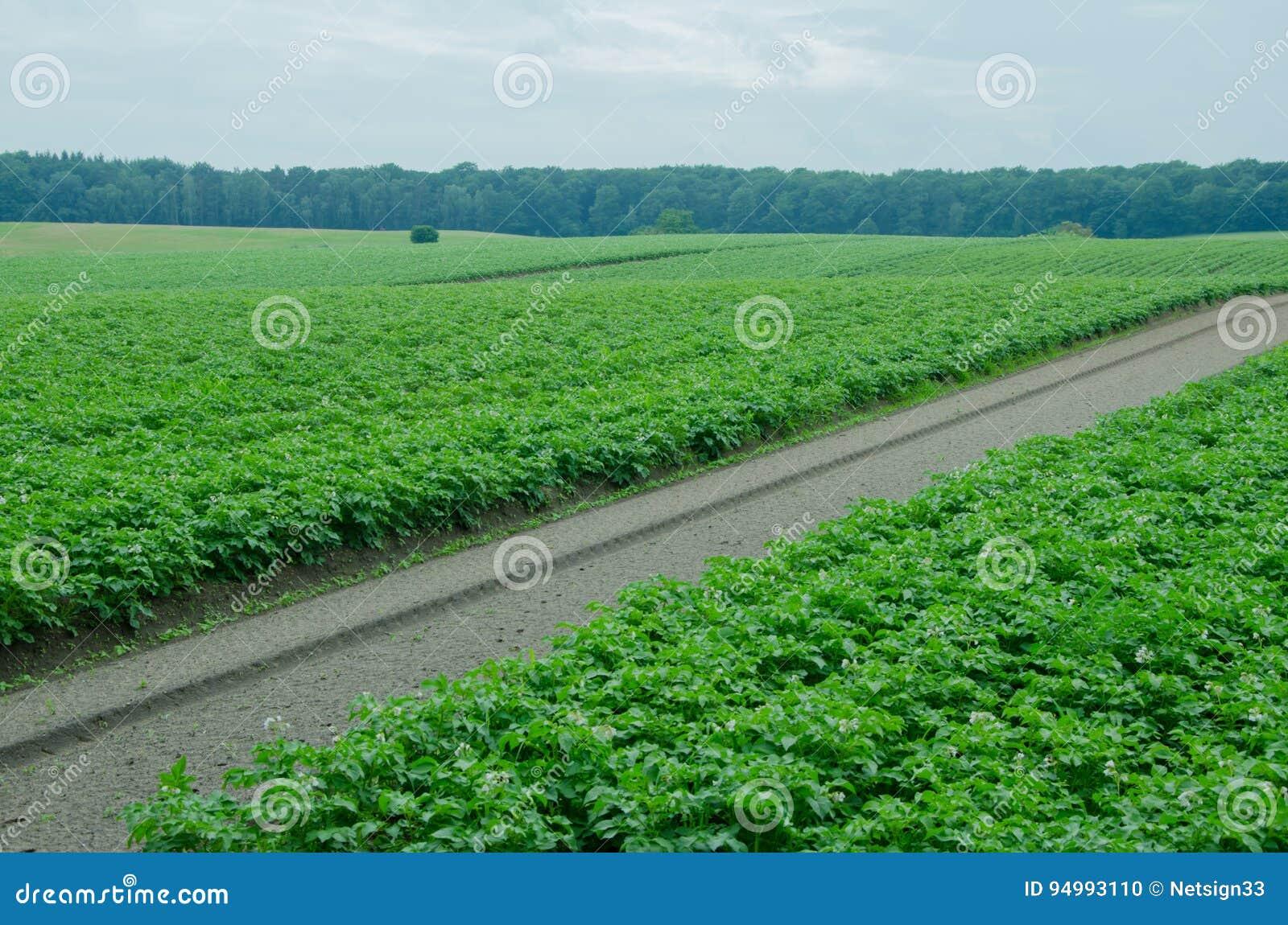 Kartoffelacker, Monokultur