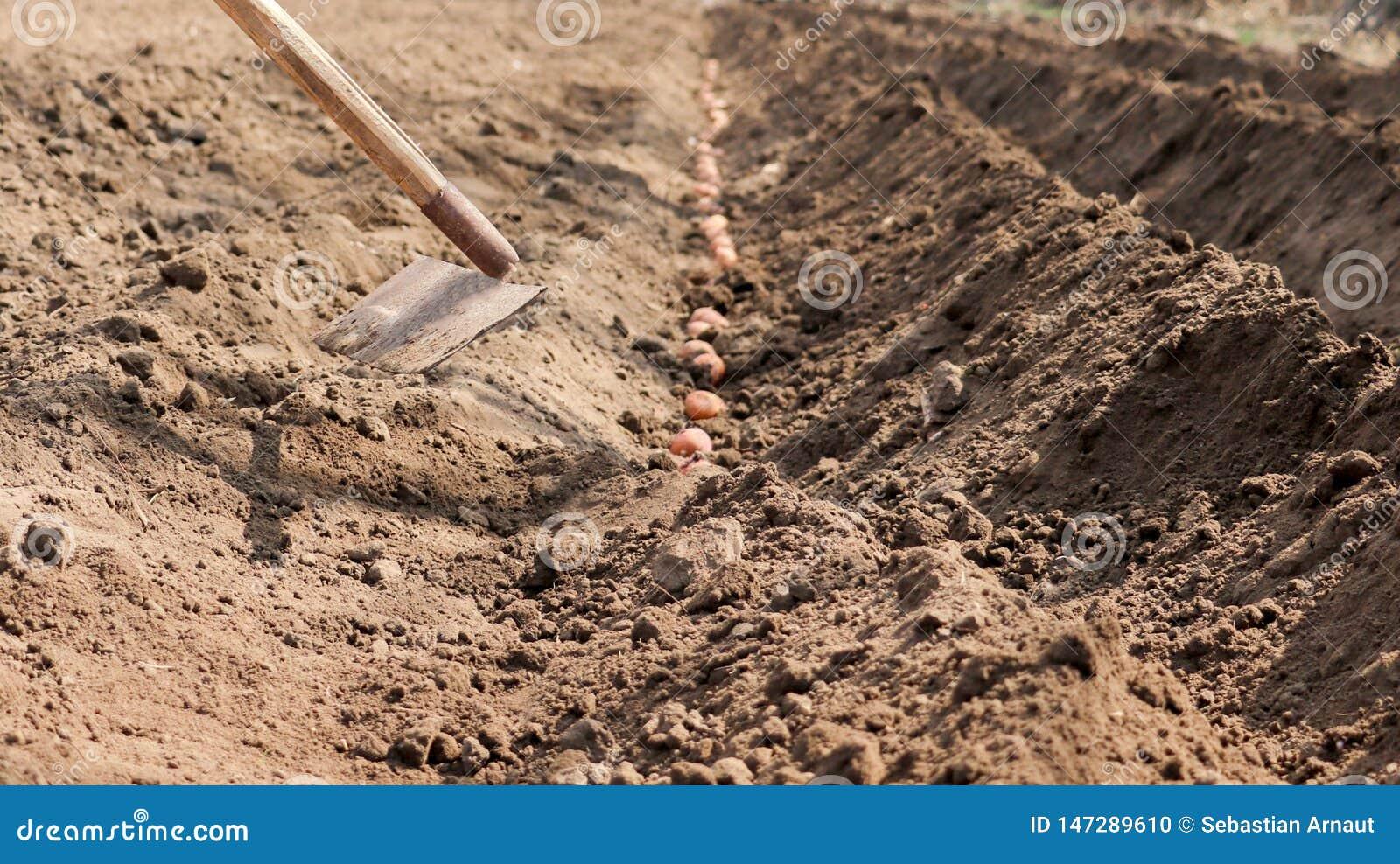 Kartoffeln, die gekeimt werden, werden im Boden gesät