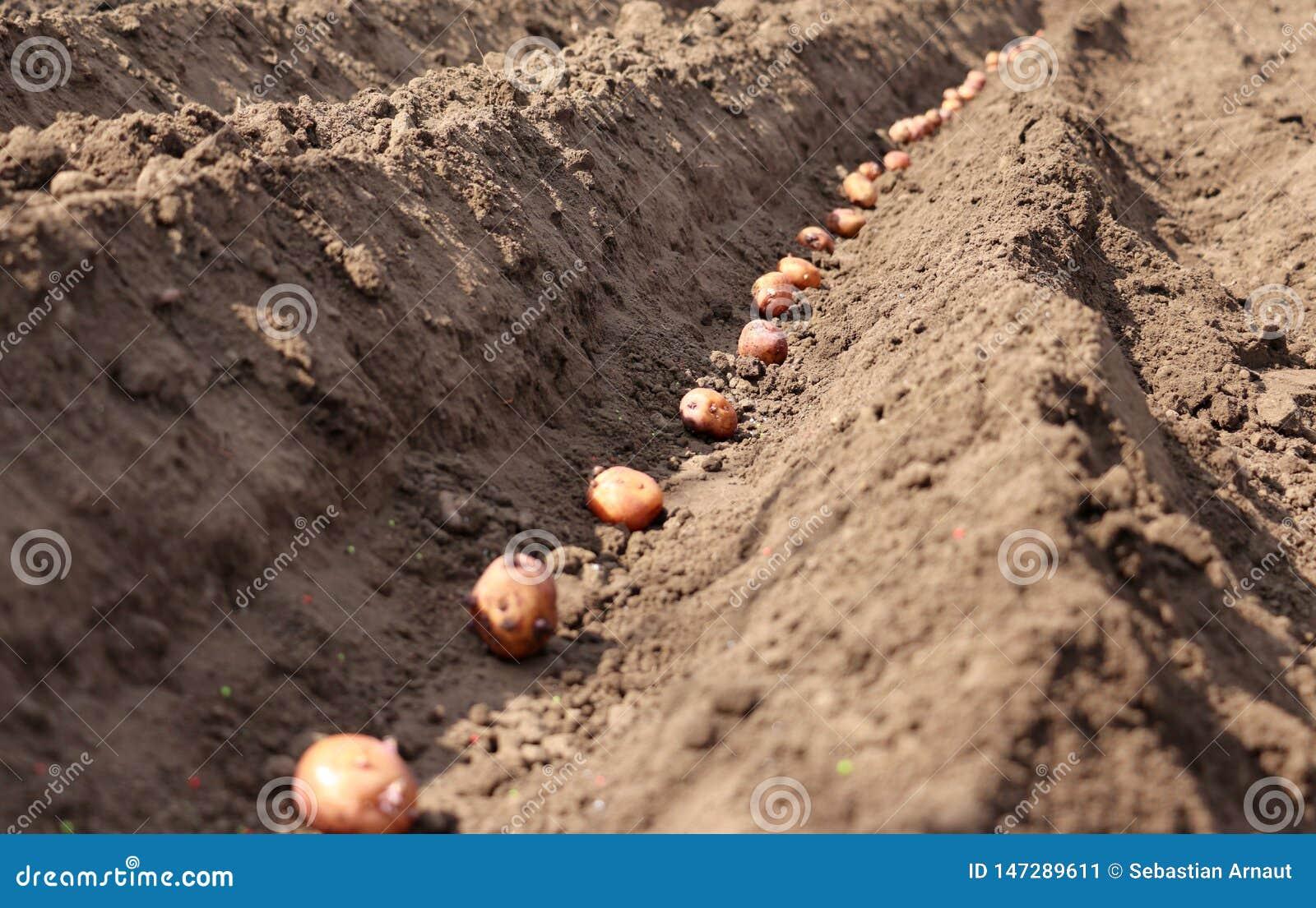 Kartoffeln, die gekeimt werden, werden im Boden ges?t