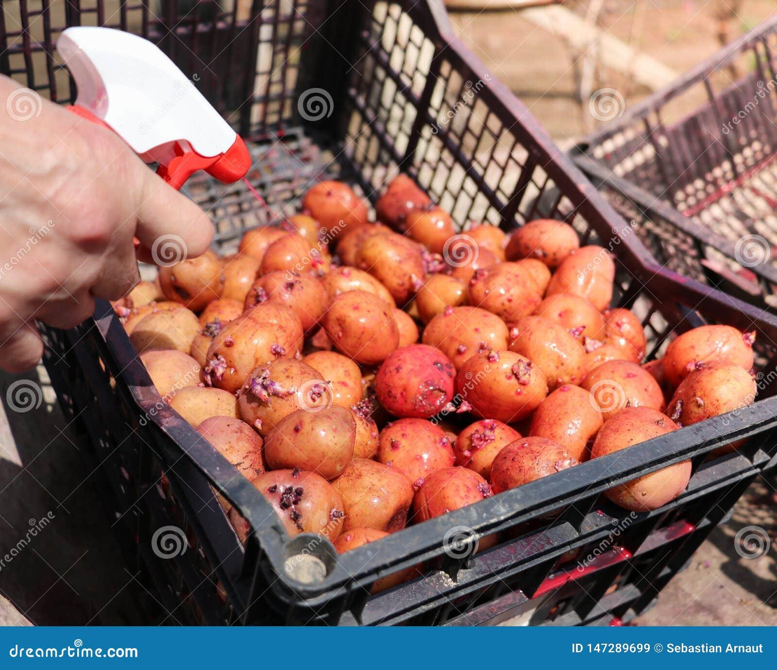 Kartoffeln, die gekeimt werden