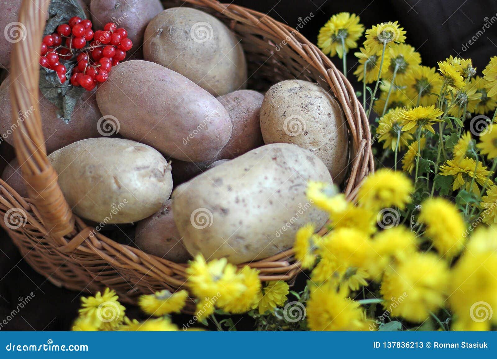Kartoffeln und Viburnum in einem Korb Begriffserntegraphik mit verschiedenem Gemüse auf dem Feld ernte