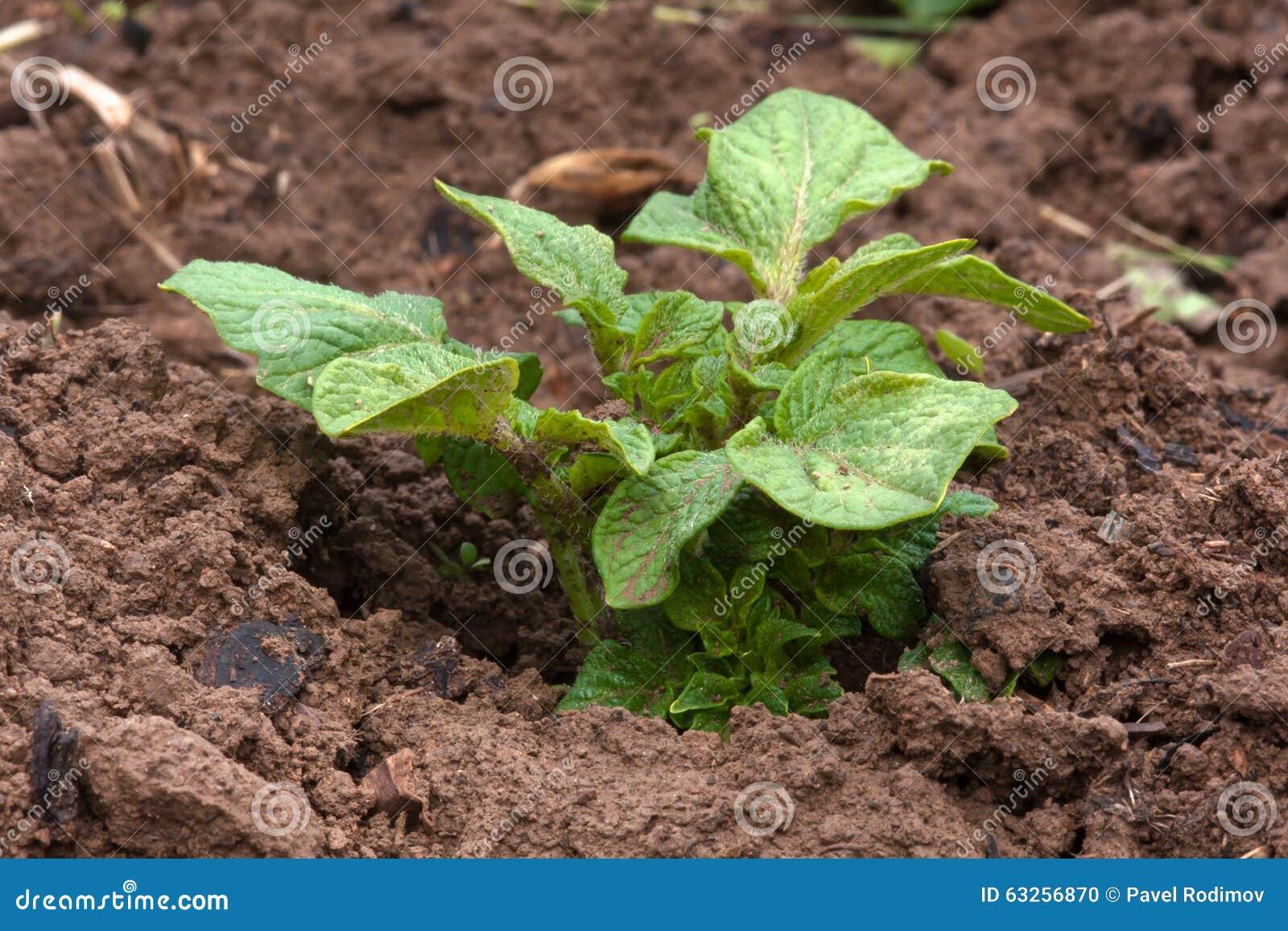 kartoffelpflanze die im gem segarten w chst stockfoto bild 63256870. Black Bedroom Furniture Sets. Home Design Ideas