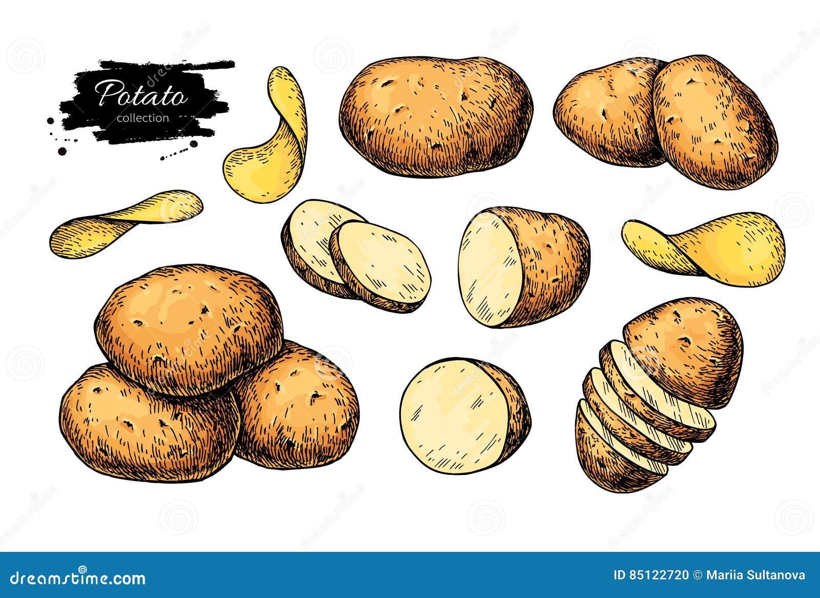 Kartoflany rysunku set Wektor Odizolowywający gruli rozsypisko, pokrojeni kawałki i układy scaleni, warzywo