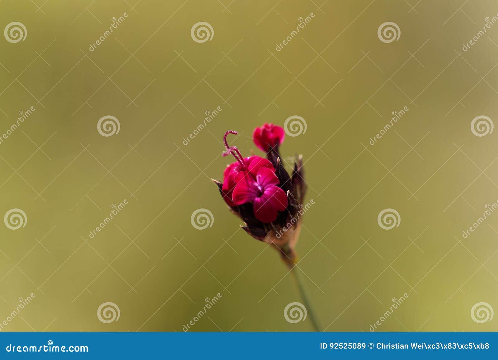 Kartuzjański Różowy Dianthus sanguineus lub Dianthus carthusianorum subsp sanguineus