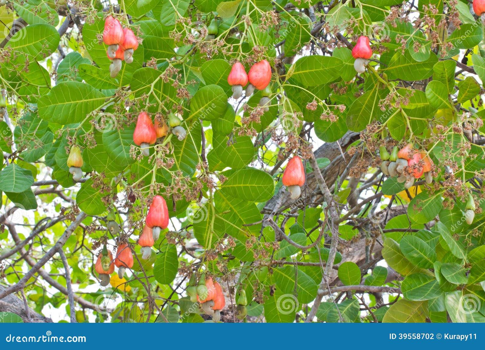 Kasjuer som växer på ett träd