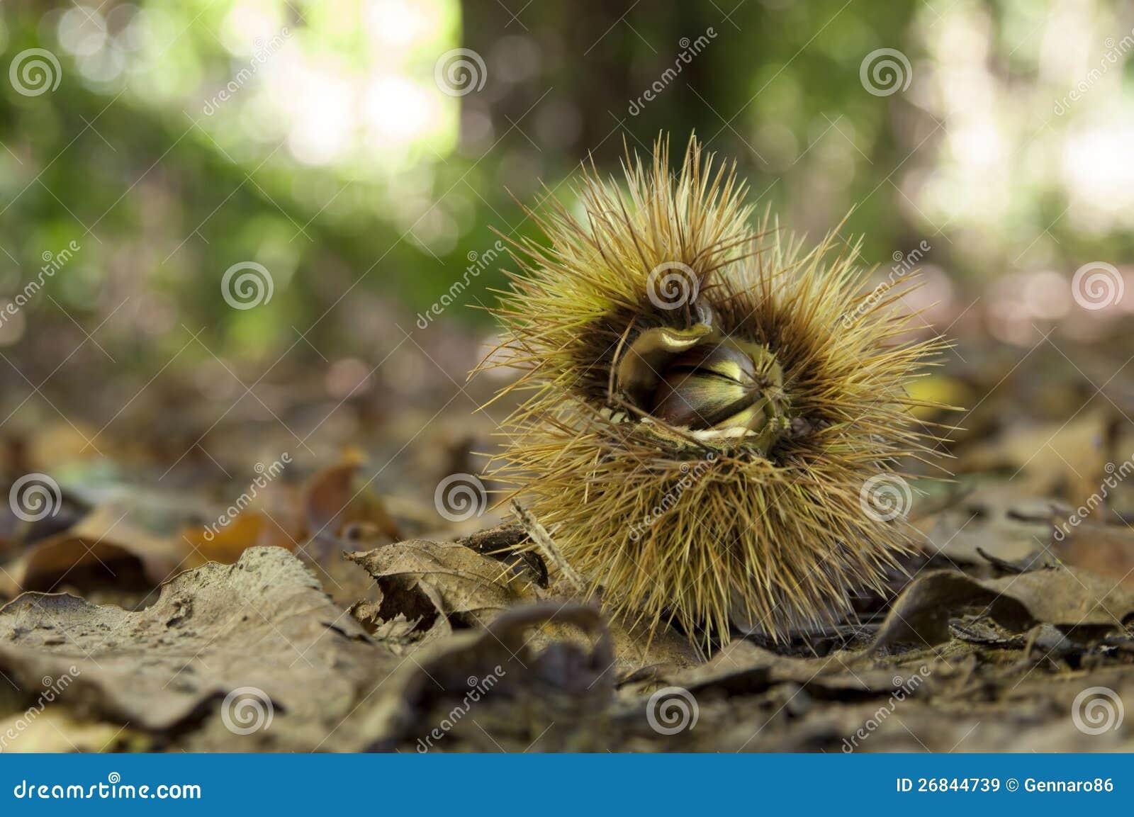 Kastanjebrun husk i undervegetation