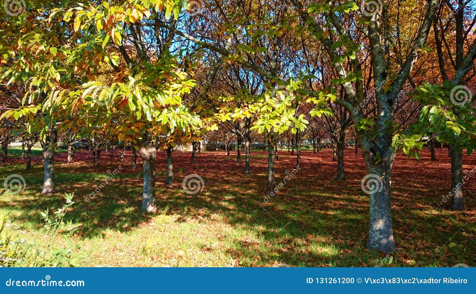 Kastanjebruna träd